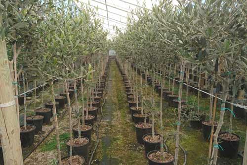 Piante olivi pistoia pescia vendita di piante olivi online for Vendita piante olivi